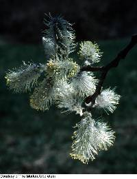 Image of Salix cinerea