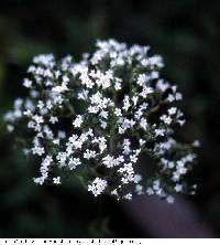 Image of Valeriana officinalis