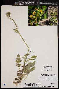 Image of Youngia japonica