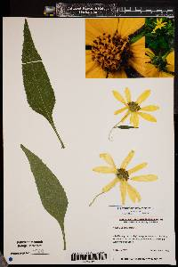 Image of Helianthus strumosus