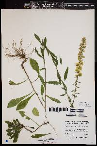 Image of Solidago puberula