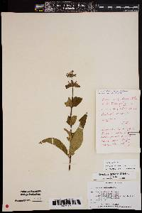 Image of Stachys hispida