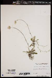 Image of Antennaria neodioica