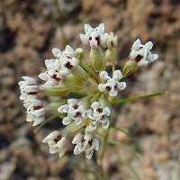Image of Asclepias leptopus