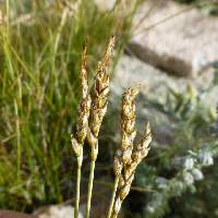 Image of Carex elynoides