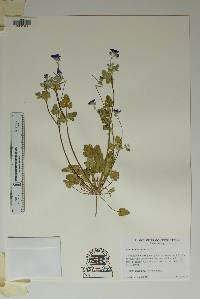 Erodium texanum image