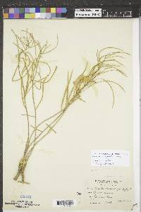 Asclepias stenophylla image