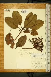 Image of Arbutus madrensis