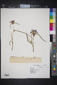 Tradescantia occidentalis image