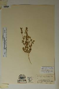 Chamaesyce dioica image