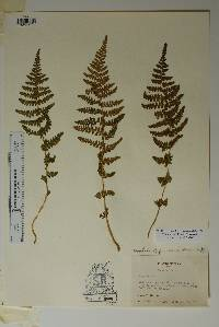 Woodsia phillipsii image