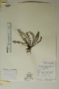 Notholaena nealleyi image