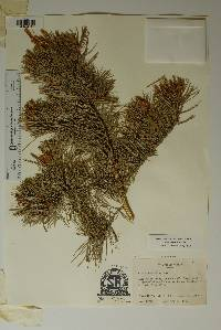 Pinus cembroides image