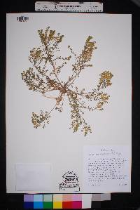 Image of Lepidium sordidum