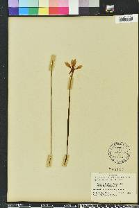 Image of Zephyranthes minuta