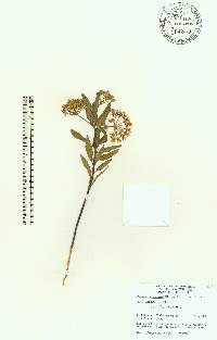Asclepias curtissii image