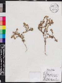 Image of Lepidium bipinnatifidum