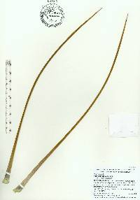 Agave stricta image