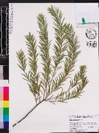 Image of Acacia boormanii