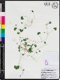 Hydrocotyle bowlesioides image
