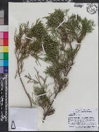 Image of Juniperus bermudiana