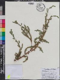 Image of Juniperus recurva