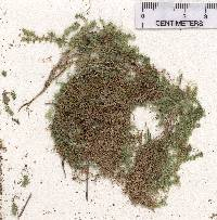 Selaginella eclipes image