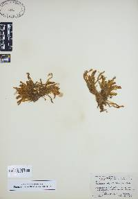 Image of Fissidens polypodioides