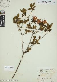 Image of Rhododendron molle
