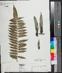 Angiopteris evecta image