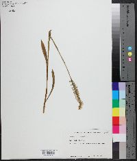 Spiranthes ovalis image