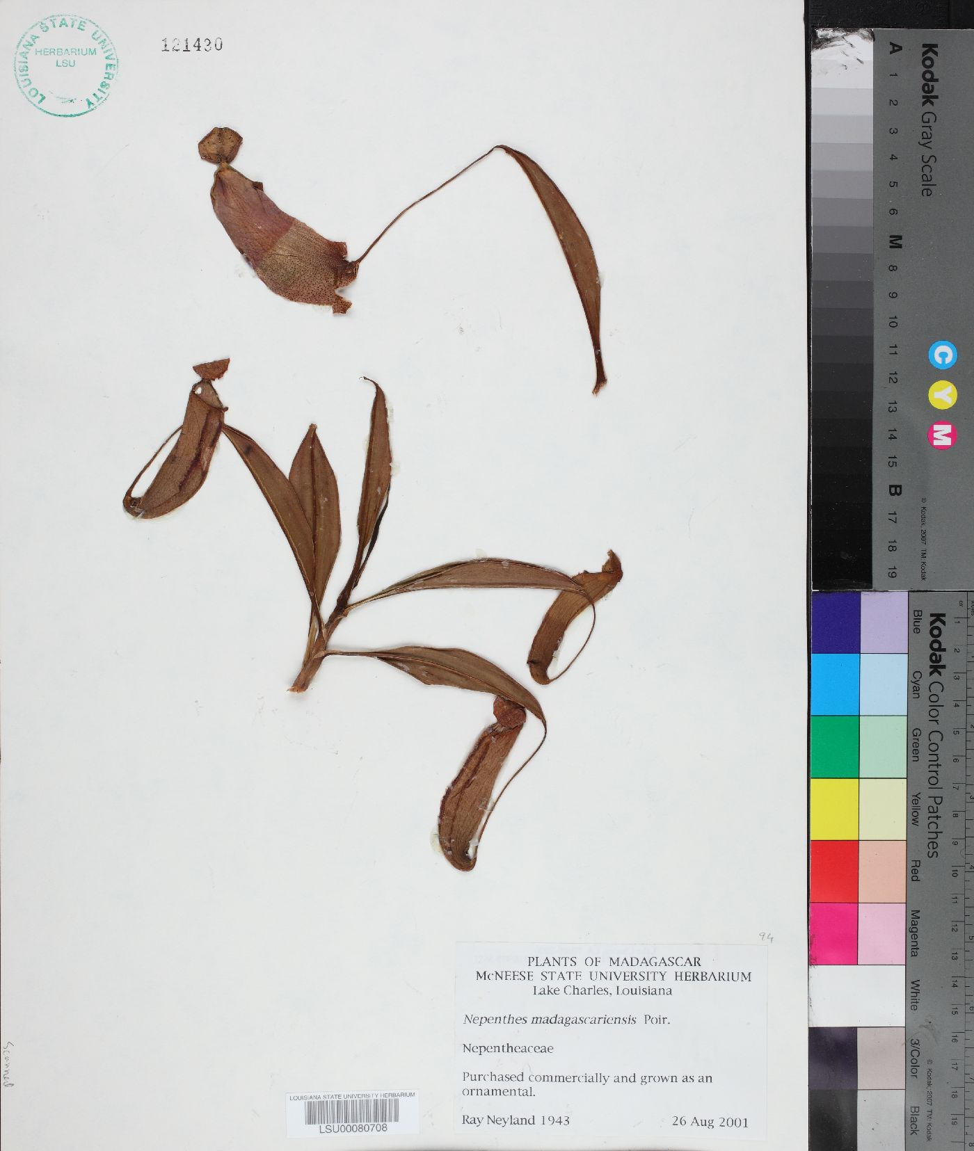 Nepenthes madagascariensis image