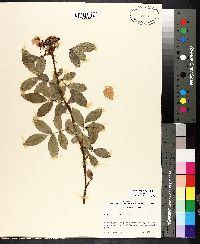 Image of Rosa virginiana