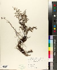Cheilanthes angustifolia image