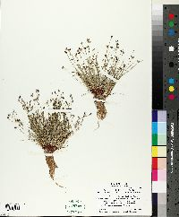 Isolepis cernua image