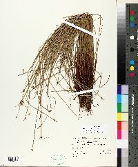 Isolepis fluitans image
