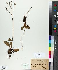 Micranthes californica image