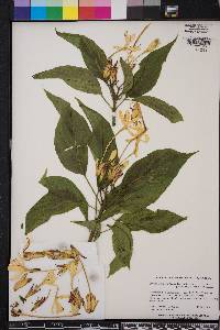 Image of Clerodendrum minahassae