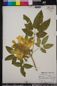Image of Tabebuia donnell-smithii
