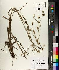 Image of Juncus crassifolius