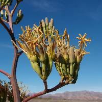 Image of Agave angustifolia