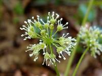 Image of Aralia nudicaulis