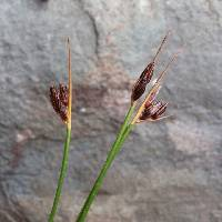 Image of Juncus drummondii