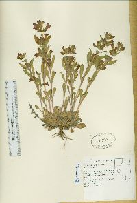 Image of Penstemon dolius