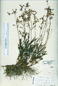Image of Penstemon gracilentus
