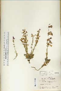 Image of Penstemon decurvus
