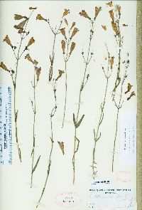 Image of Penstemon heterophyllus