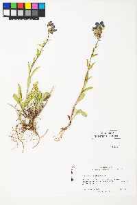 Image of Penstemon subglaber