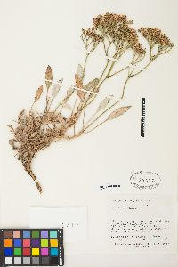 Image of Eriogonum thompsoniae