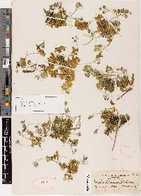 Image of Draba asterophora